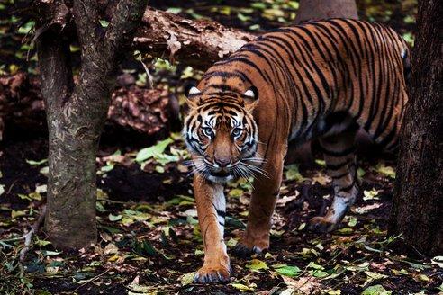 Sumatran-tiger-02