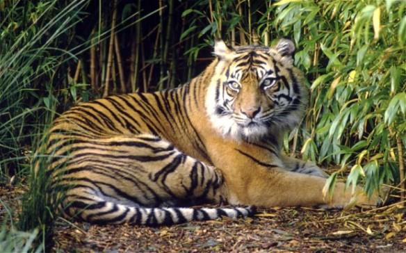 Sumatran-tiger_2611714b