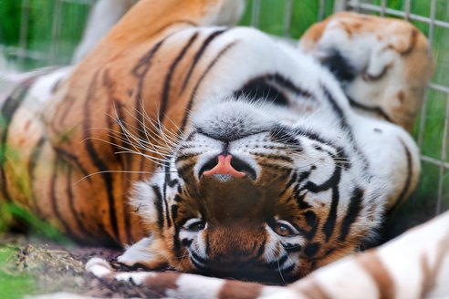 tiger_laying