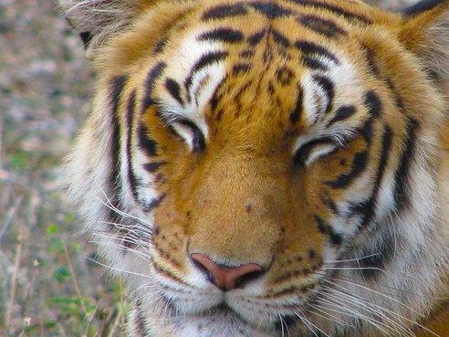 tiger_smiling